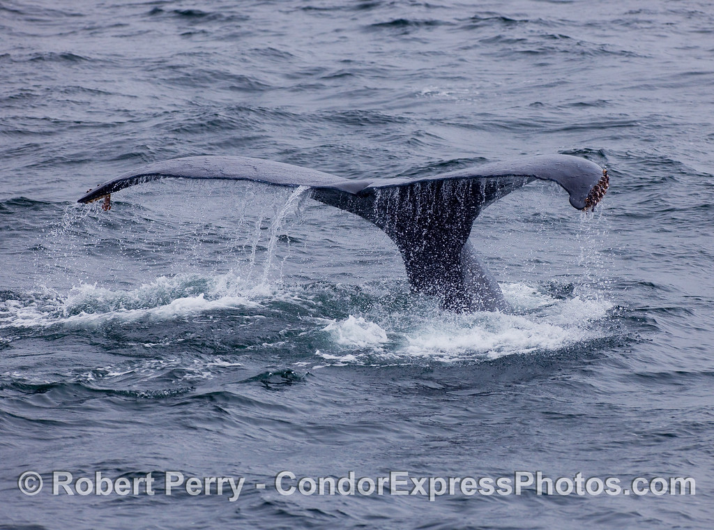 Humpback Whale tail fluke waterfall.