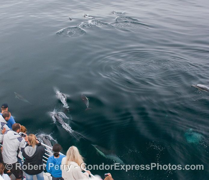 A group of Common Dolphins near the Condor Express and another leads the charge out front.