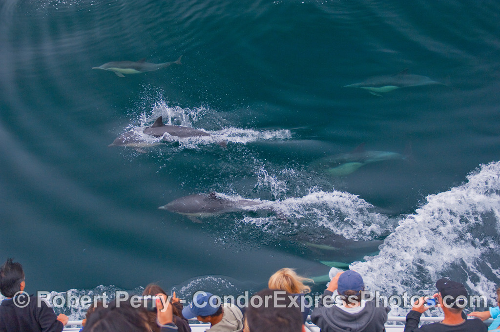 Whalers shoot Common Dolphins.