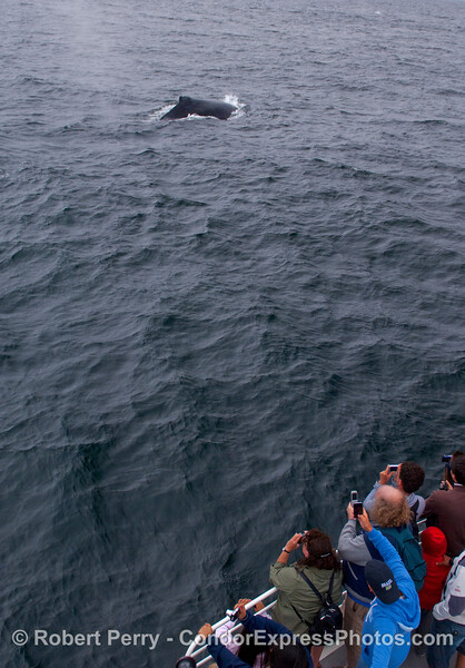 Whalers shoot a Humpback Whale.