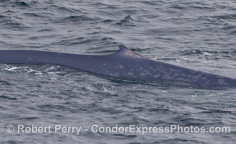 Dorsal fin and flanks of a giant Blue Whale.