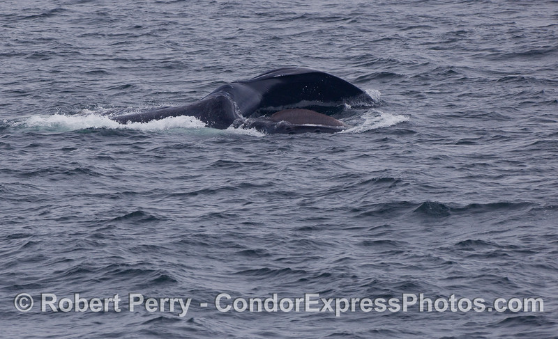 A look directly into the gaping mouth of a feeding Humpback Whale.  The animal is on its side, upper jaw on the bottom and lower jaw greatly expanded on top.  The dark reddish-brown baleen can be seen.