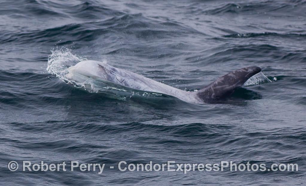 A Risso's Dolphin sends out a wave as its bulbous head moves through the water.