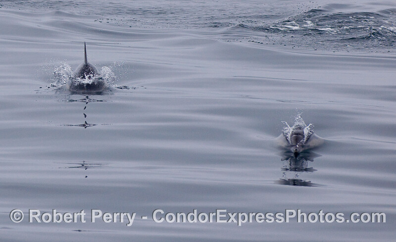 Common Dolphins coming at you.