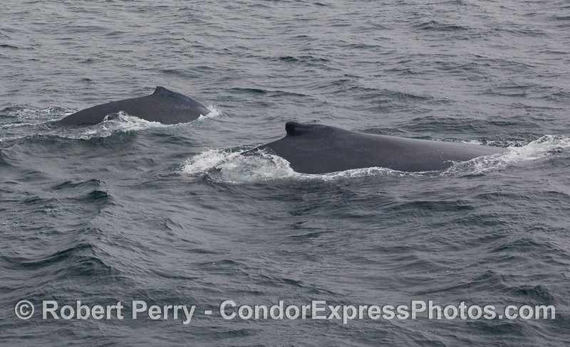 Two Humpback Whales, side by side.