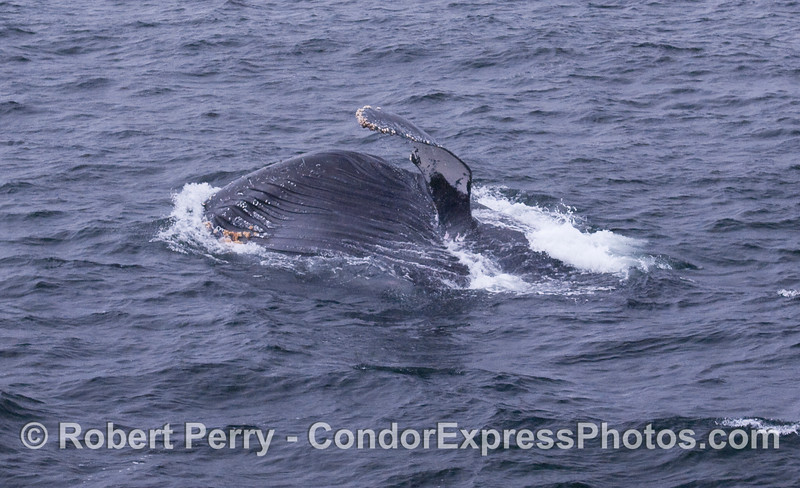 This Humpback Whale  has rolled over and has its left pectoral fin in the air as it lunge feeds.  The expanded ventral groove blubber is shown as the beast gulps a huge volume of seawater full of krill.