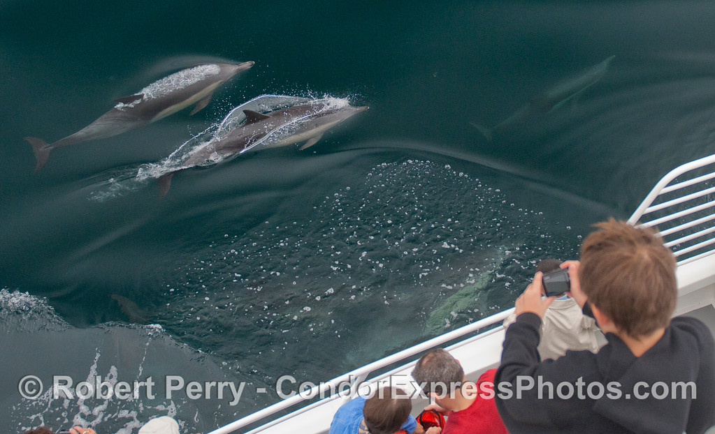 Common Dolphins come alongside for a look at the Condor Express whalers.