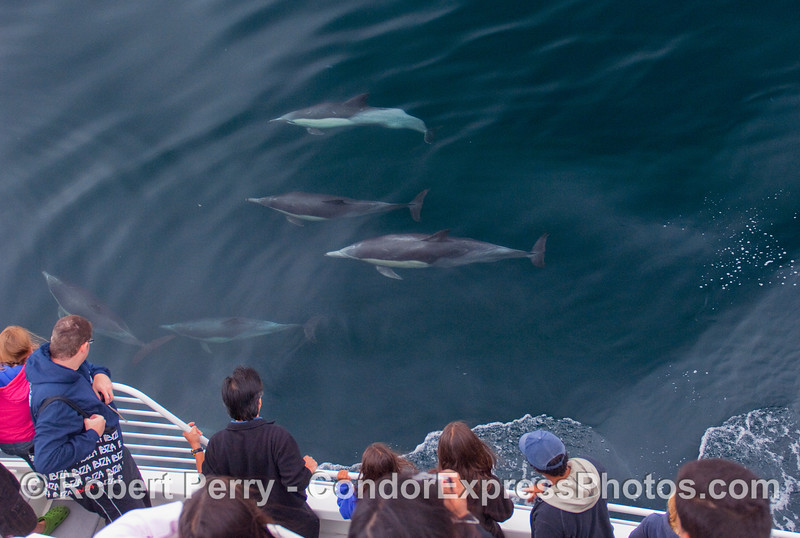 Common Dolphins under the clear blue water.