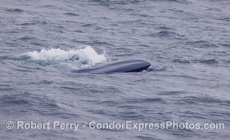 Another look at the tip of a Blue Whale's snout, mouth open slightly.
