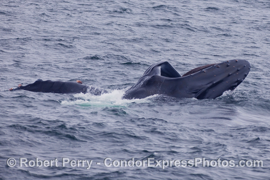 Surface lunge feeding Humpback Whale...left pectoral fin is shown to the left of the image.