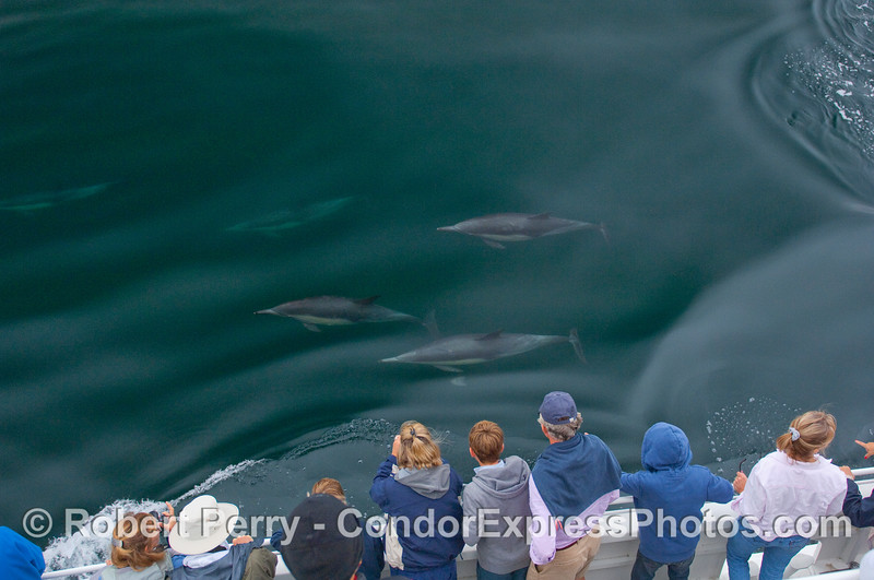 Common Dolphins pay a visit to the whalers on board the Condor Express.