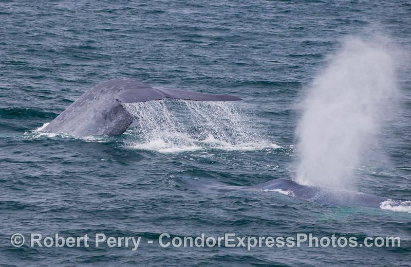 Blue Whales everywhere!