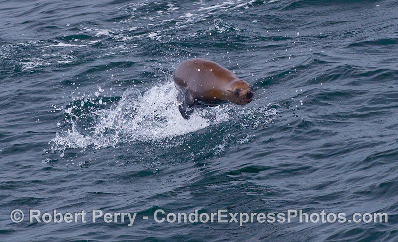 An agile California Sea Lions leaps out of the waves.