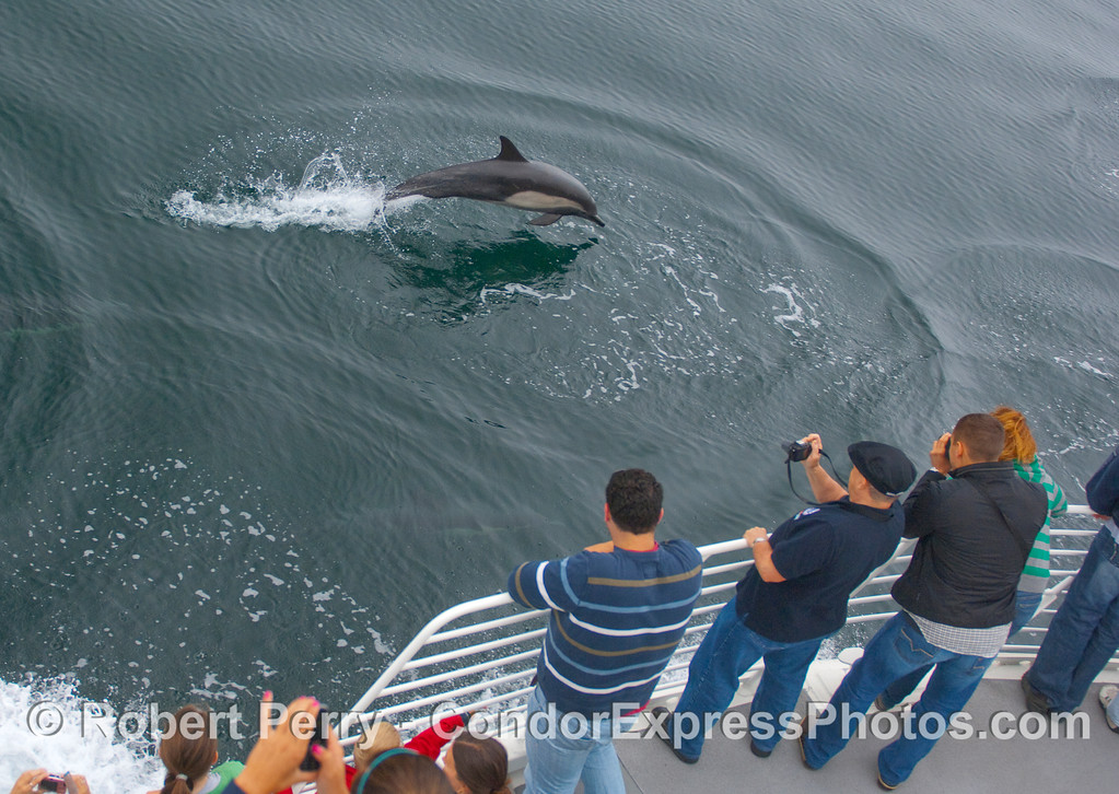 Whalers on the Condor Express shoot a leaping Common Dolphin.