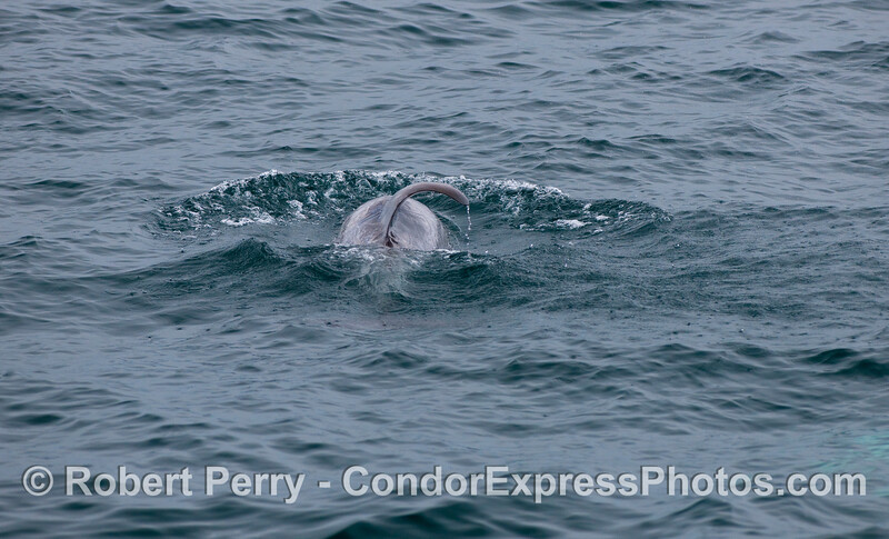Image 1 of 2:  a Risso's Dolphin with curved dorsal fin.