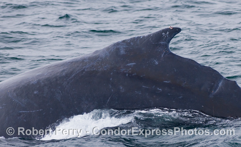 A Humpback Whale with an unusual curved and pointed dorsal fin.