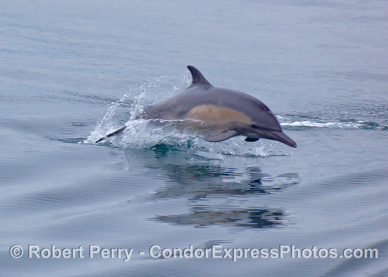 Common Dolphin leap.