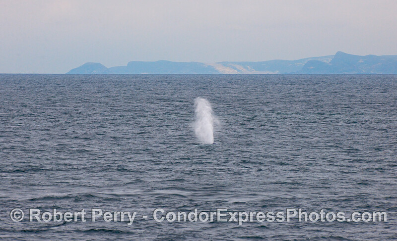 A tall spout from a Blue Whale.  San Miguel Island is in the back.