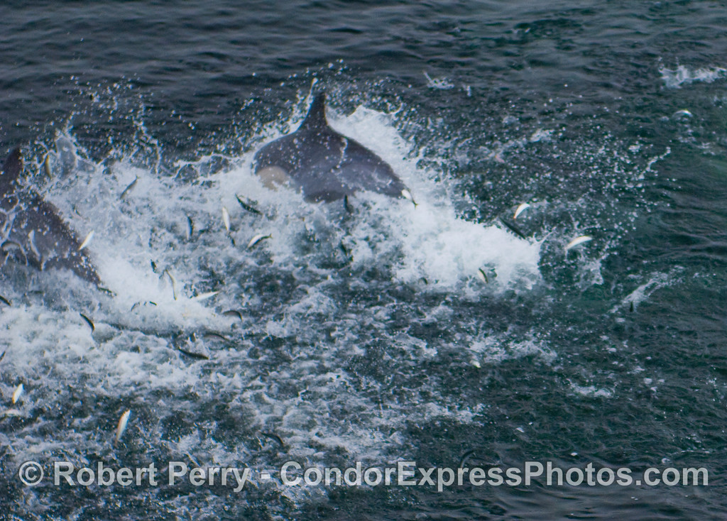 Common Dolphins feeding sends panic stricken Northern Anchovies (Engraulis mordax) leaping for their lives.
