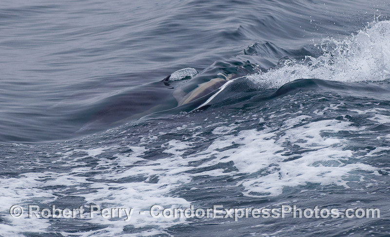 Four Common Dolphins.  Can you see where they are?