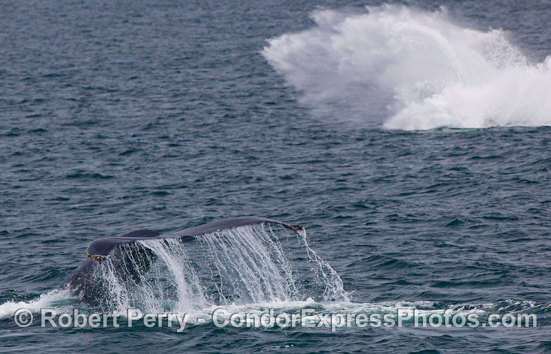 Okay, so I was photographing this nice Humpback Whale tail fluke waterfall, and I did not know another Humpback Whale was breaching in the background...kaboom!