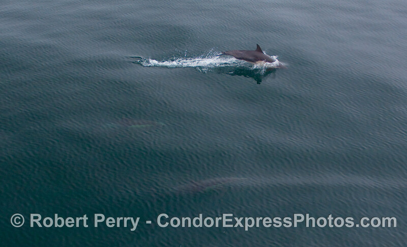 Three Common Dolphin...can you see them?