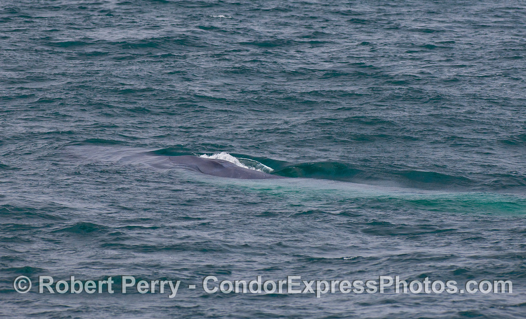 A Blue Whale slides beneath the surface.