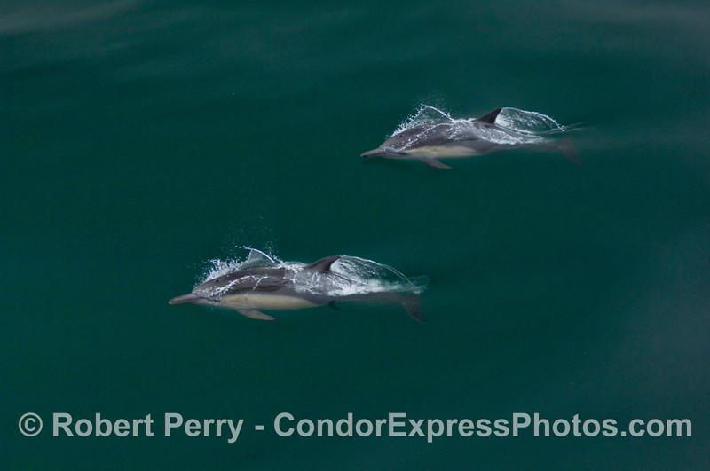 Two Common Dolphins.