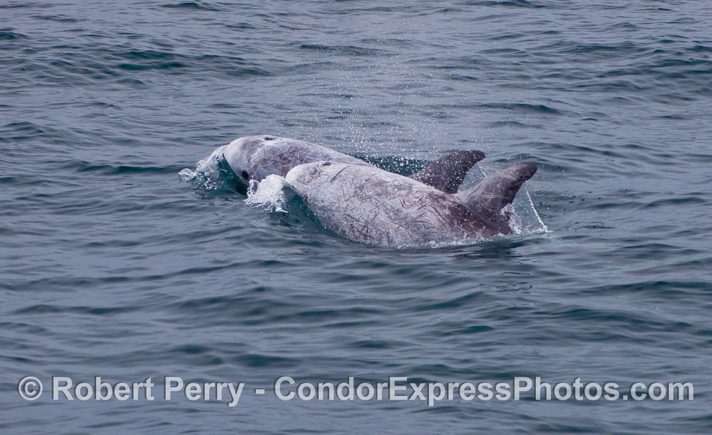 Two more Risso's Dolphins.