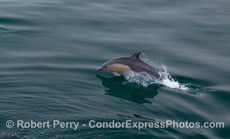 Another leaping Common Dolphin.