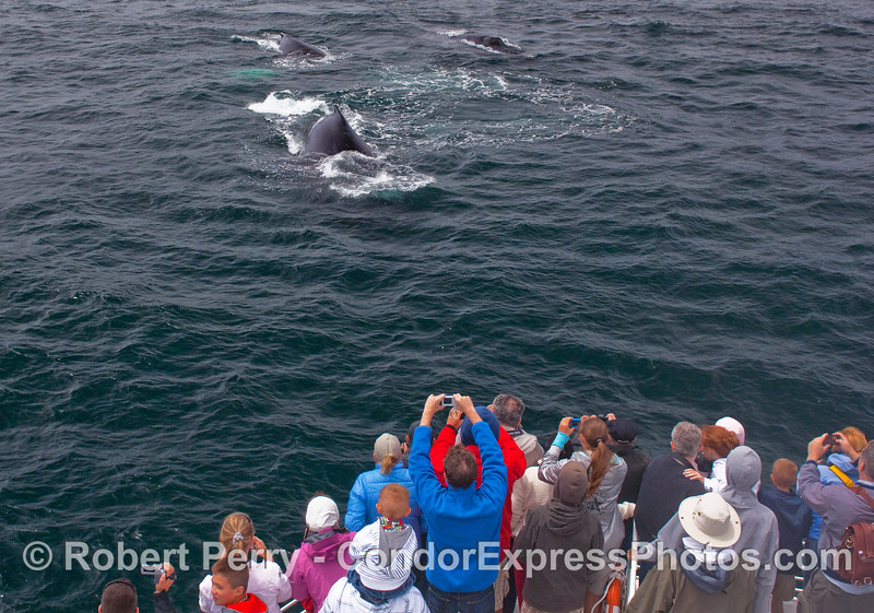 Three Humpback Whales coming towards the whalers.