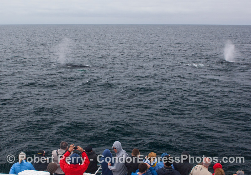 Twin Humpback Whale spouts close to the whalers.