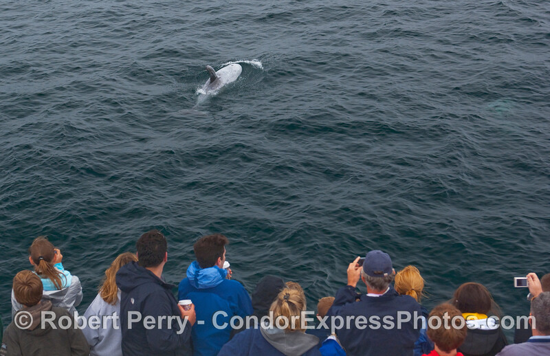 A Risso's Dolphin gets shot by the whalers.