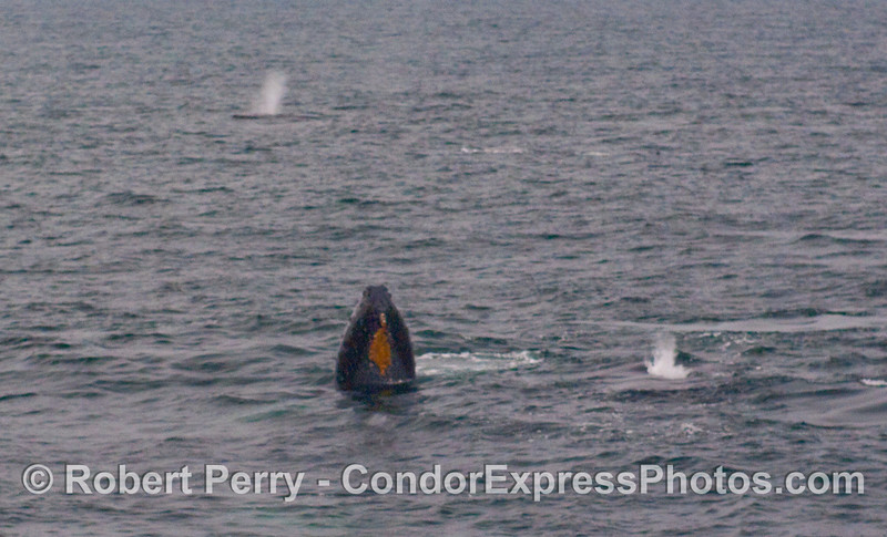 One Humpback Whale spy hops, as two more spout.
