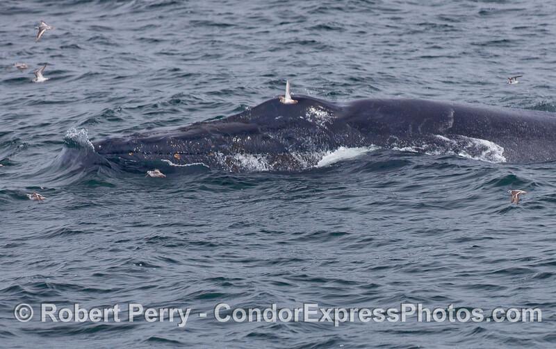 A  Humpback Whale scares up a flock of small pelagic birds, Red-Necked Phalaropes (Phalaropus lobatus).