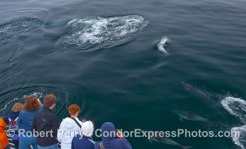 Lots of Common Dolphins including one that is grabbing a fish hunting upside down.