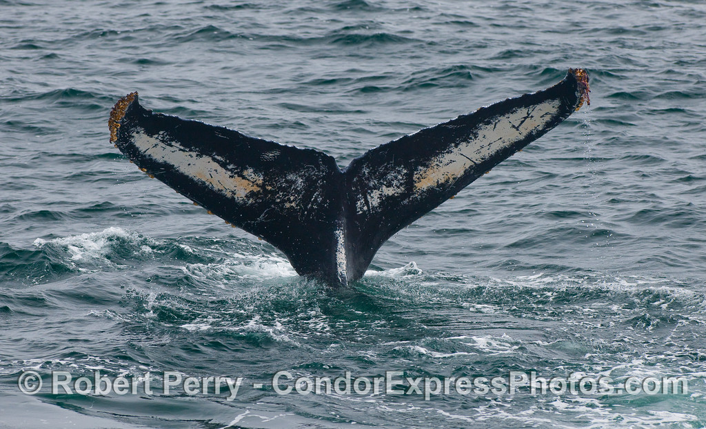 A Humpback Whale tail, under side (ventral side).