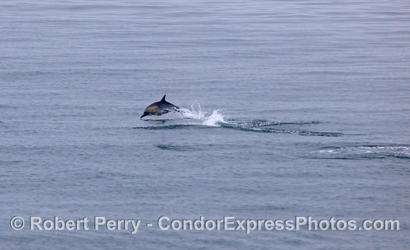 In the distance, a Common Dolphin takes a leap.