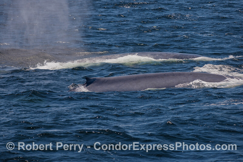 Twin giants, Blue Whales side-by-side.