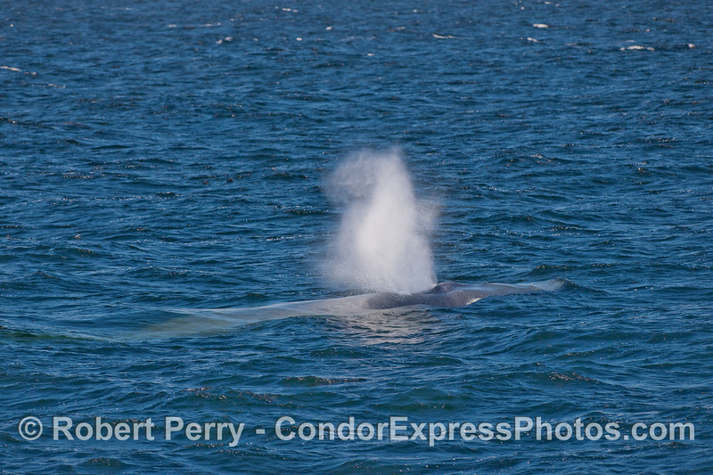 Nice look at a Blue Whale spouting.