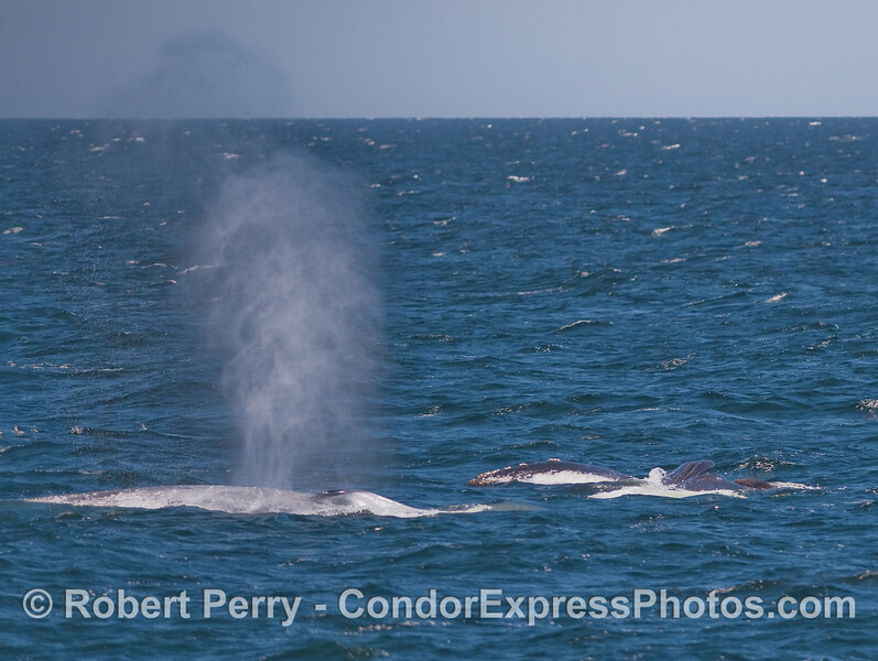 Two for one shot:  A Blue Whale spouts on the left, as a Humpback Whale lunge-feeds on the right.