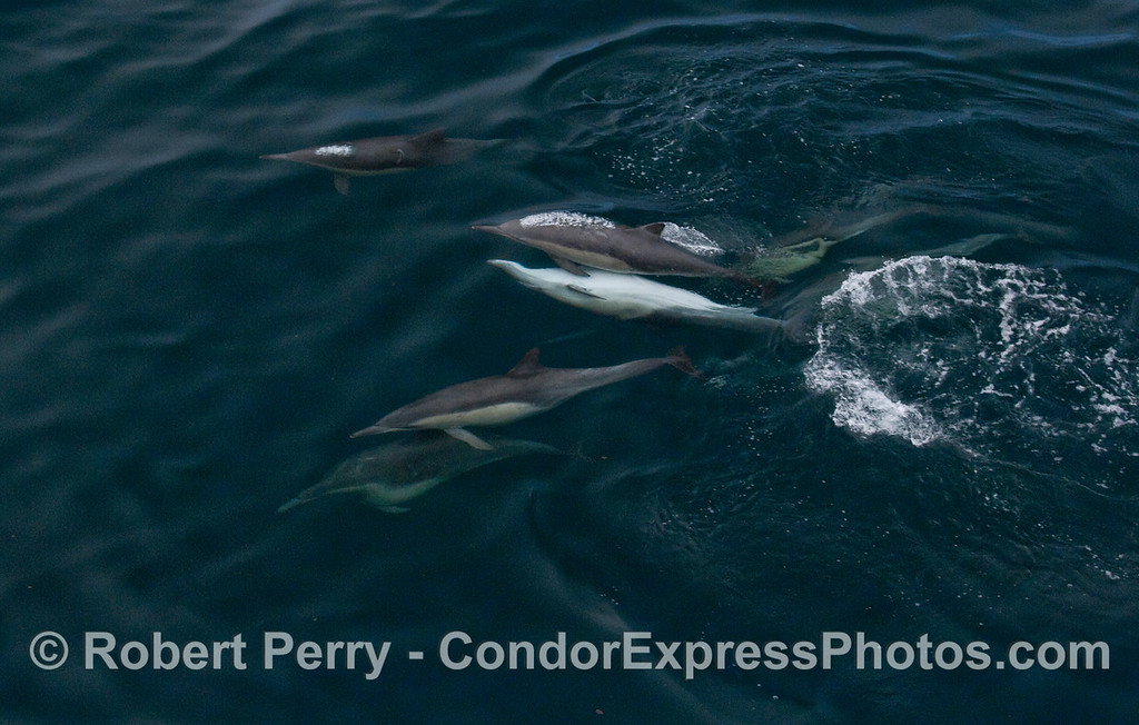 Common Dolphins, including one mating pair.  Wide view.