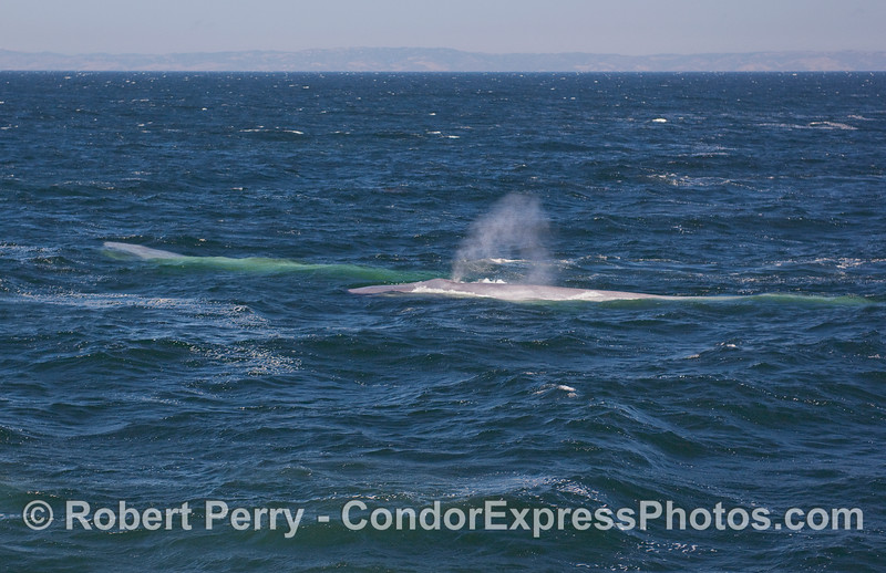 Double giants.  Blue Whales on a windy sea.