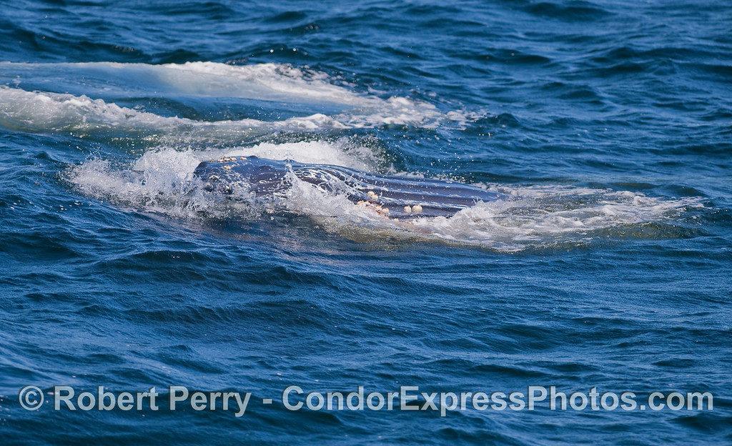 The expanded belly pleats of a lunge feeding Humpback.