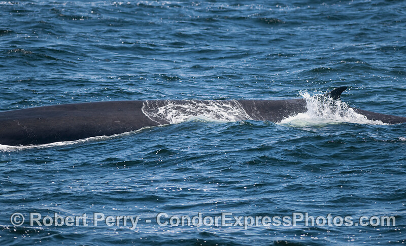 The second largest whale species on earth, and second largest animal to ever live on the planet - a Fin Whale.