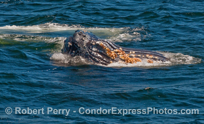 Ventral pleats of a hungry Humpback.