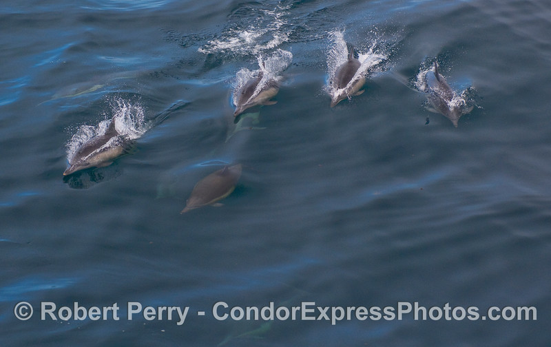 A whole batch of Common Dolphins.