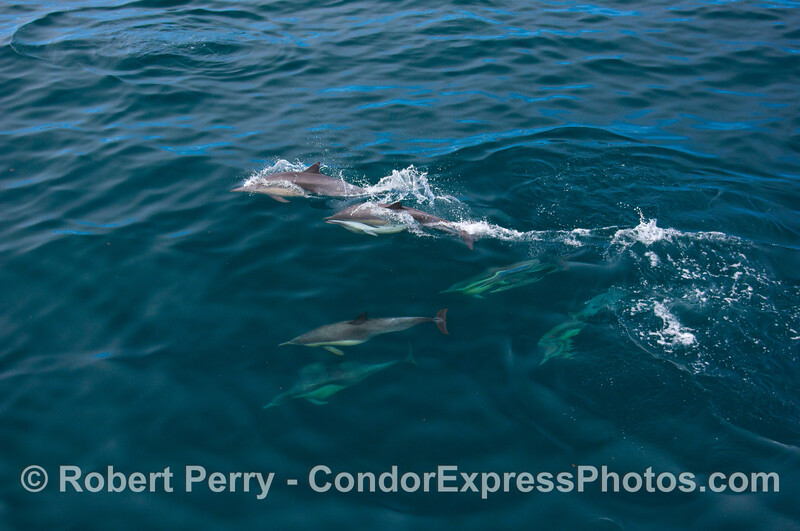1 of 3: Common Dolphins, including one mating pair.  Ultra wide view.