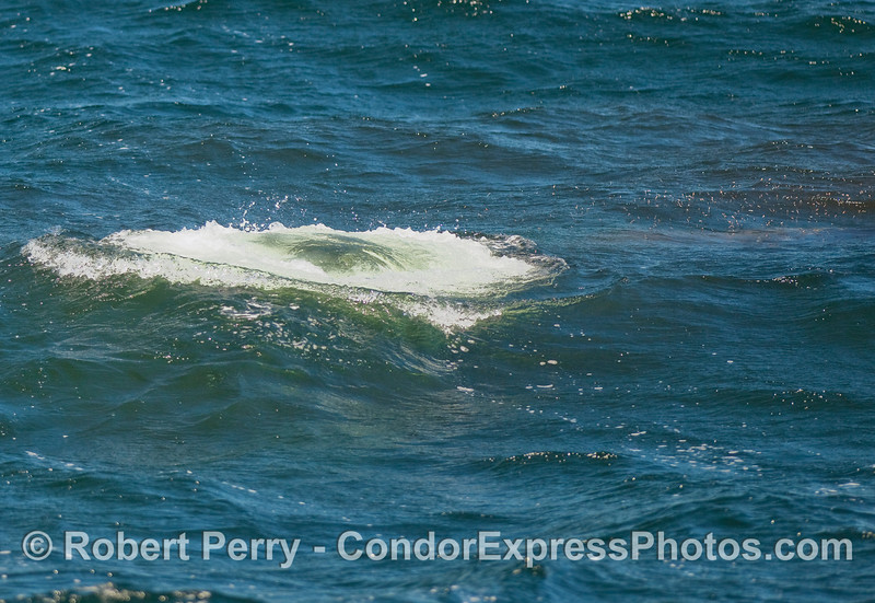 Stage one, a Humpback Whale expels air and heads for the nearest krill patch (to the right).