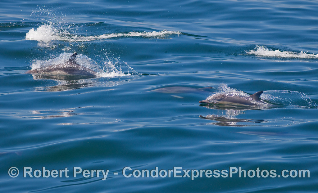 Common Dolphins (Delphinus capensis).